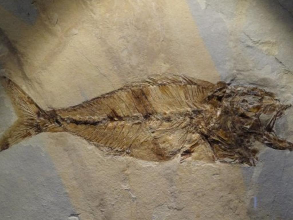 Fossile di ricciola
